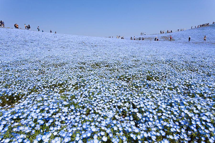 blue-flowers-hitashi-park-02.jpg
