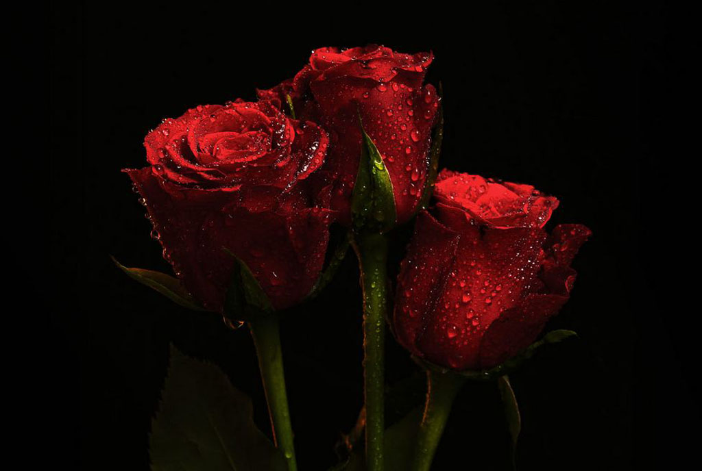 Almas-Bavcic--Three-red-roses.jpg