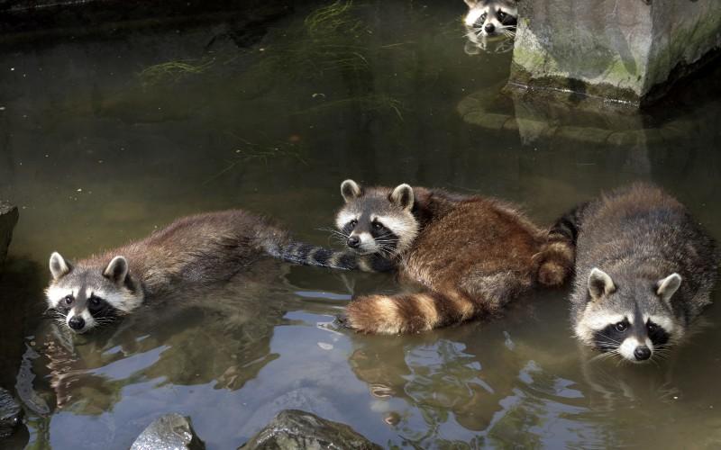 Raccoons_Water_520265_3840x2400.jpg