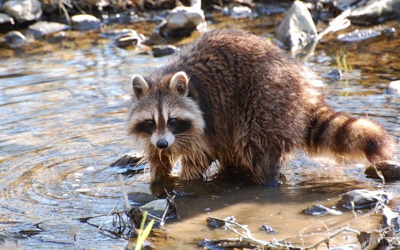 raccoon_09.jpg